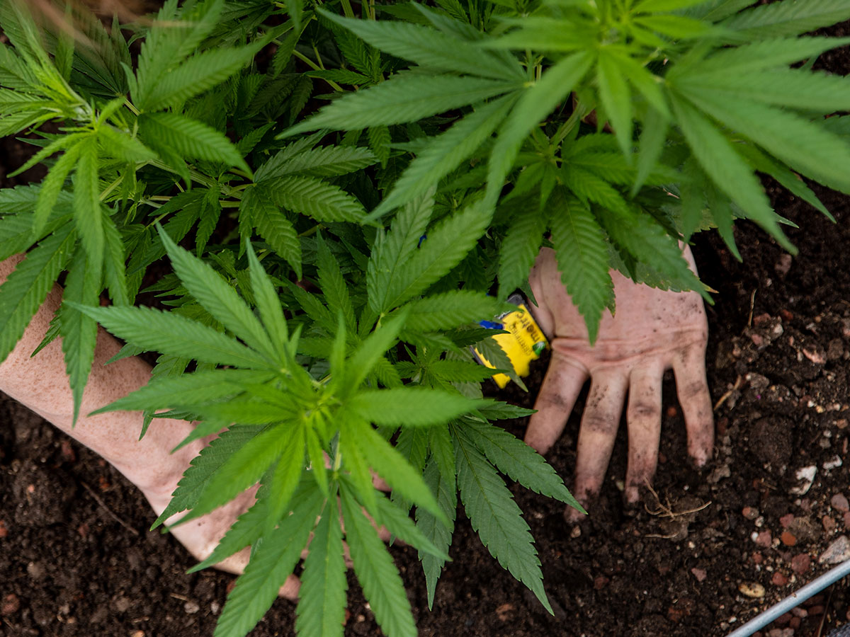 Marijuana plant and hands in soil