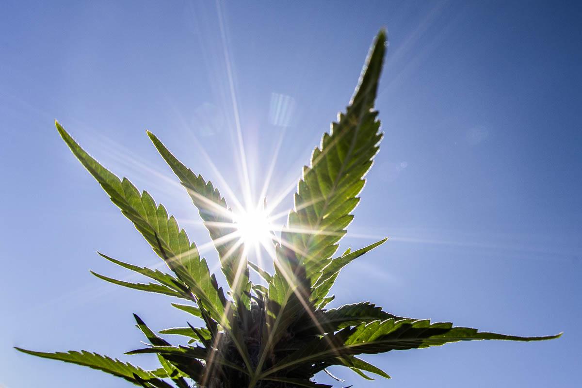 Marijuana leaf and sun
